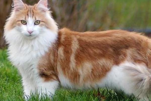 gatto con il mantello rosso e bianco