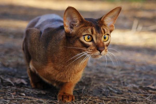 gatto abissino che punta una preda