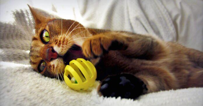 gatto abissino che gioca