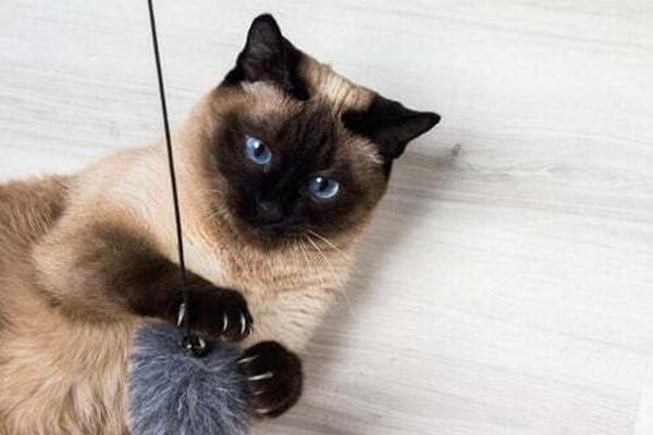 gatto siamese che gioca