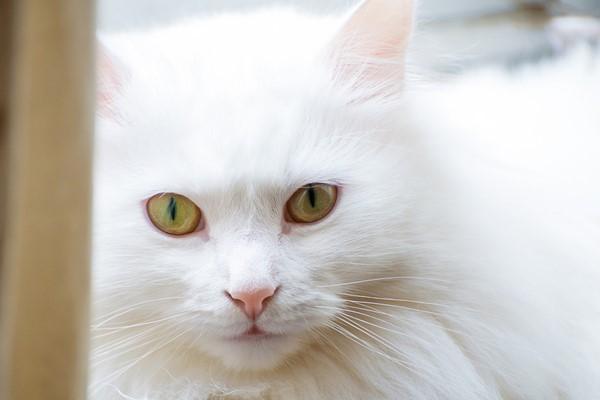 gatto con il pelo bianco e lungo
