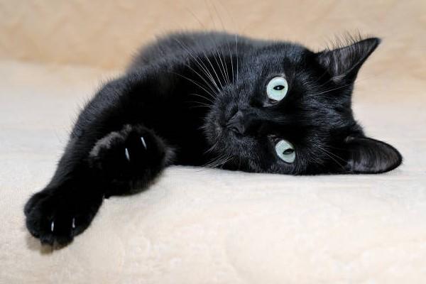 gatto con il mantello nero