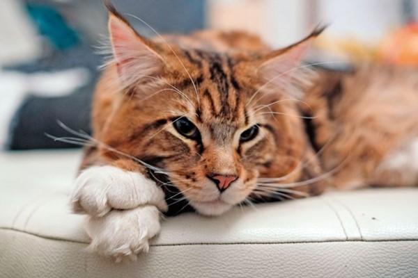 maine coon che dorme sul divano