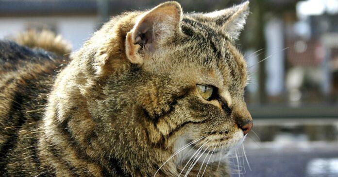 profilo del gatto