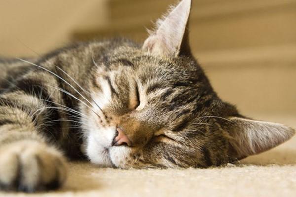 gatto dormiglione