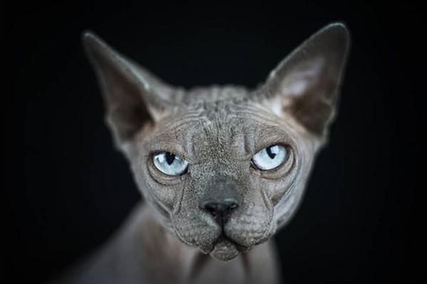 gatto canadian sphynx