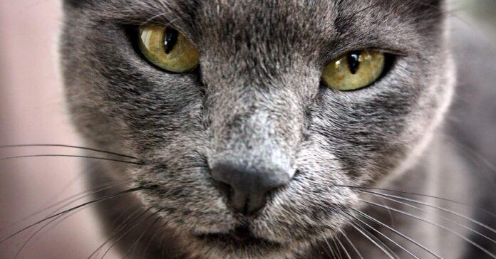 sguardo affascinante del gatto