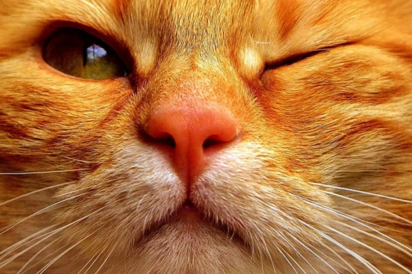 gatto rosso senza occhio