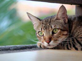 gatto rangagio