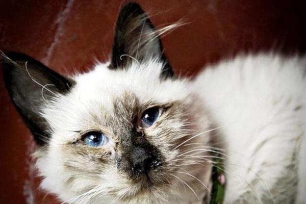 gatto malato di rinotracheite