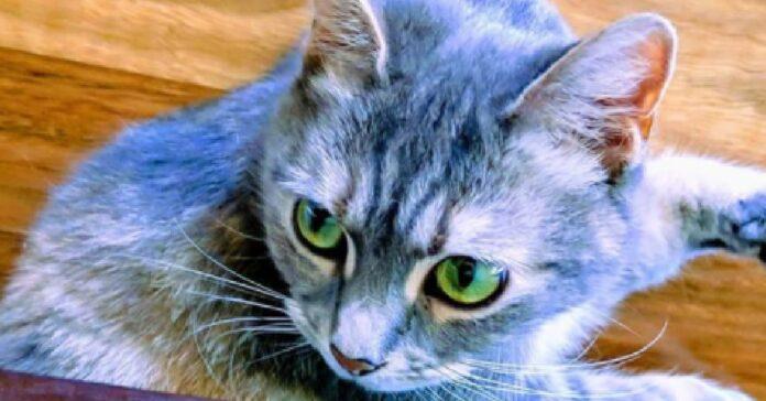 selina gattina adora farsi trasportare in giro per casa
