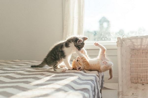 due cuccioli di gatto giocano
