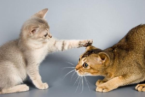 gattino accarezza gatto adulto
