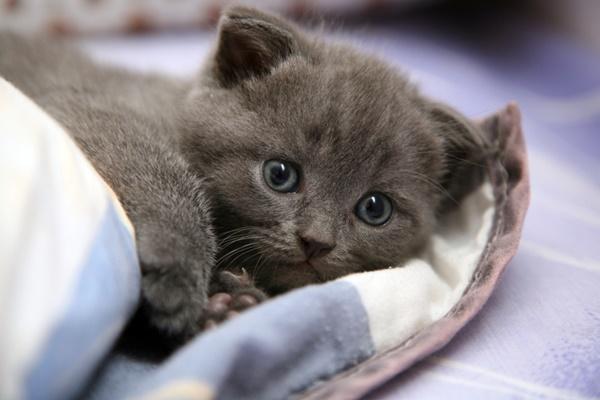 gattino di colore grigio