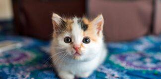 gattino di tre colori