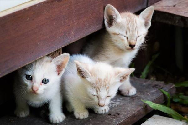 tre gattini bianchi