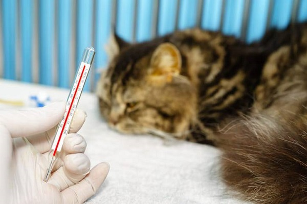 termometro per gatto