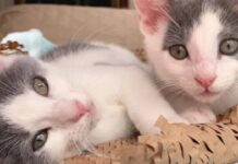 whisky pippa due gattini gemelli che trovano casa