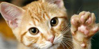 gattino rosso con zampetta alzata
