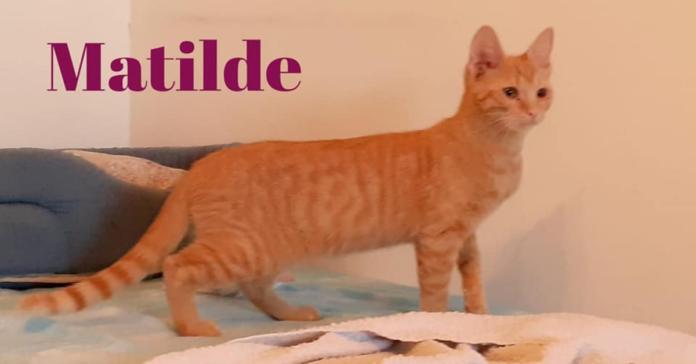 Matilde gatta rossa da adottare