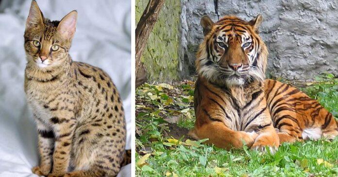 Gatto e tigre
