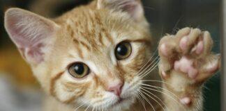 gatto richiama l'attenzione