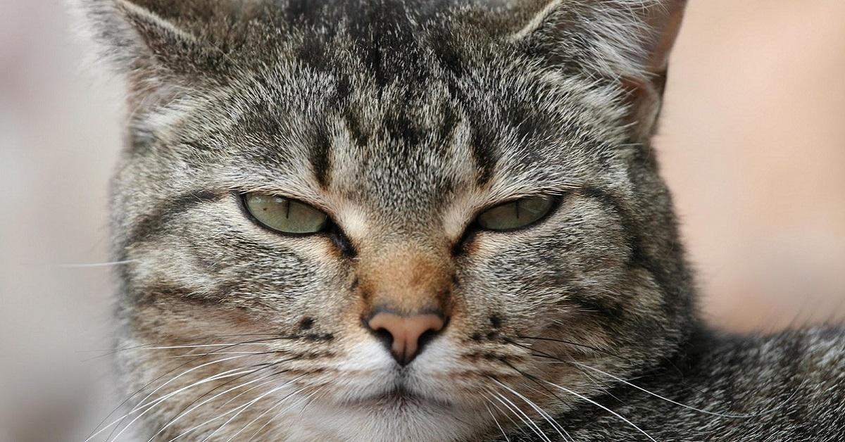 gatto che ha sonnolenza