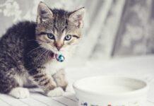 gatti e lattosio