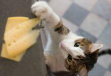 gattino prova a prendere il formaggio