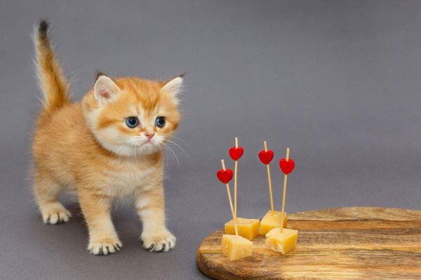 gattino guarda il formaggio