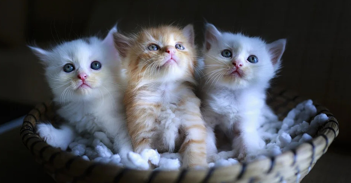 Tre gattini in una cuccia