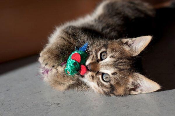gattino gioca