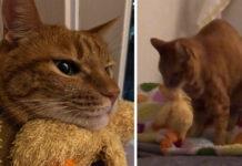 Gattino con un peluche