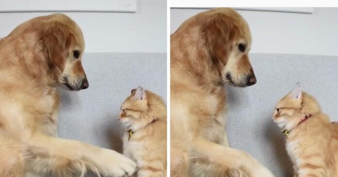 Gattino con un Golden Retriever