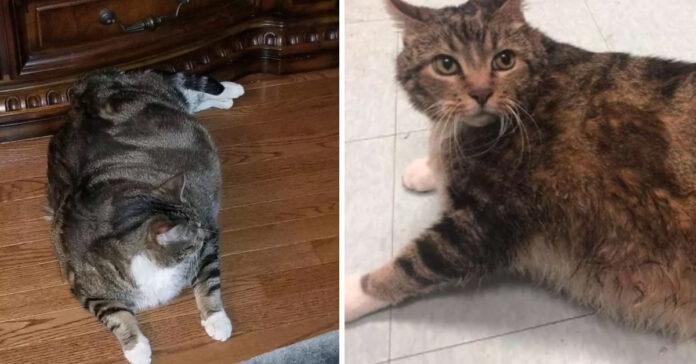 Gattino obeso
