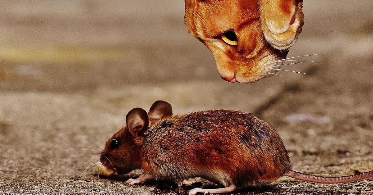 gatto caccia topo