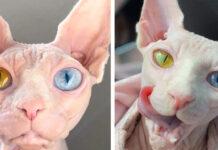Gattina di razza Sphynx con occhi di colore diverso