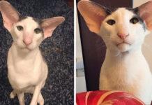 Gatto con orecchie enormi