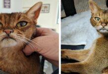 gattina anziana che riceve coccole