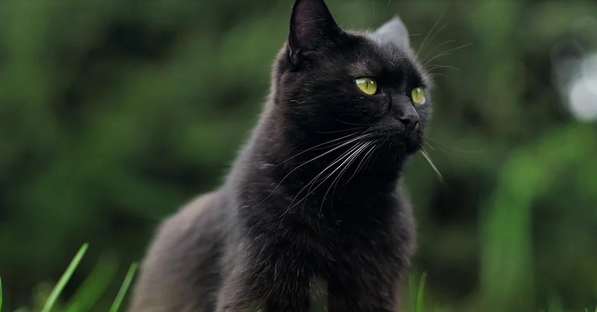 Gatto nero che osserva