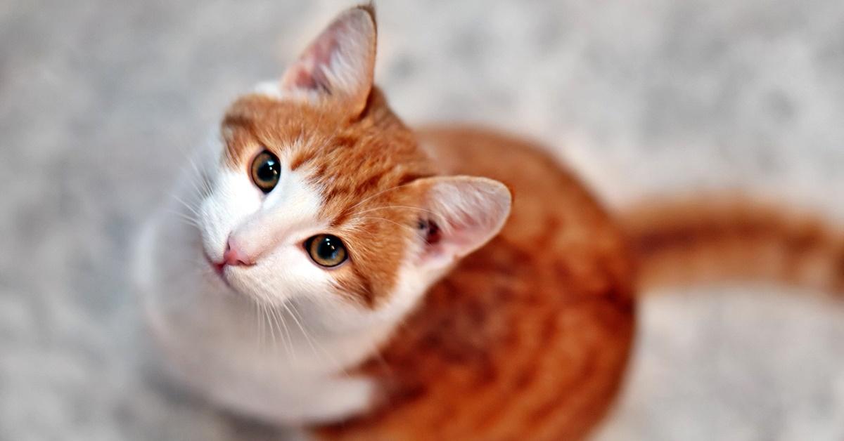 gatto arancione e bianco