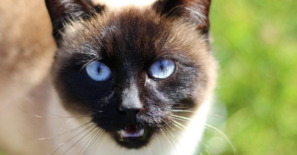 gatto in posizione di attacco