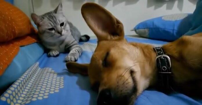 betty la gattina colpisce cane che sta dormendo