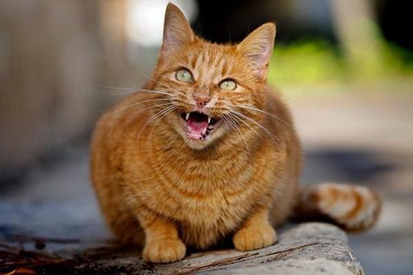 gatto arancione che miagola
