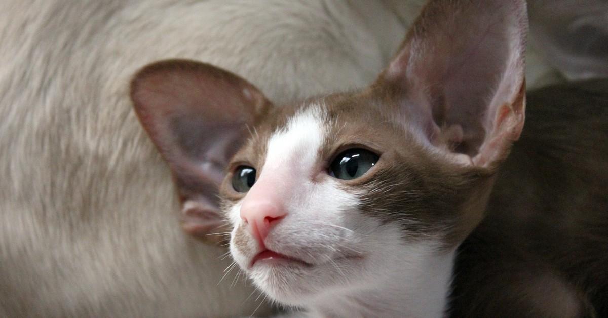 cuccioli di gatto orientale come pulirli