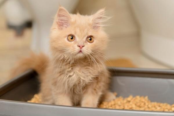 gattino persiano nella lettiera