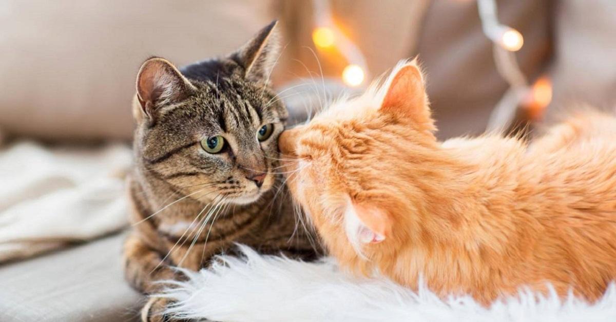 gatti che si odorano