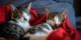 gattini fra le coperte