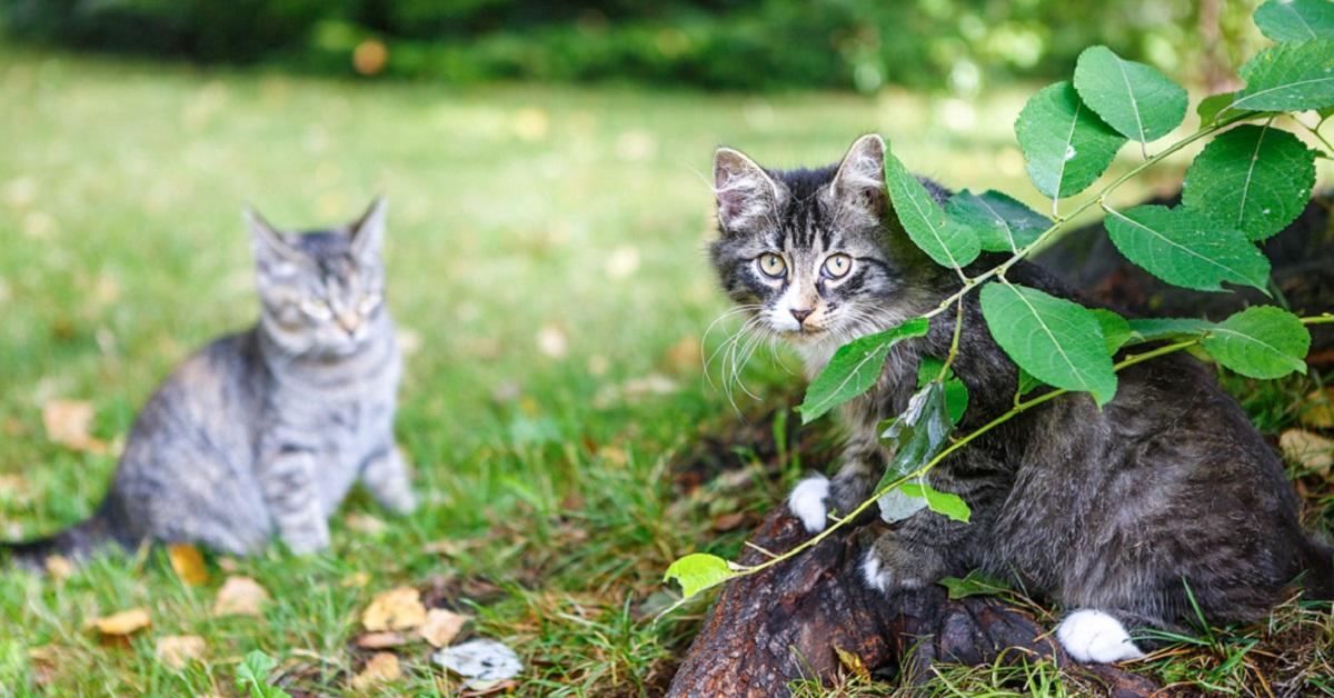 gatti in  gairdino
