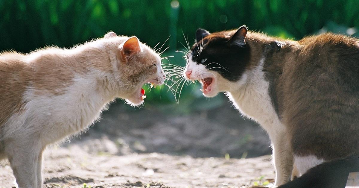gatti randagi che litigano